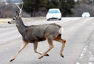 Be aware: It's peak season for deer collisions!