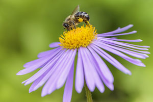 Va. pollinator plan aligned with national recommendations to revive honeybee population