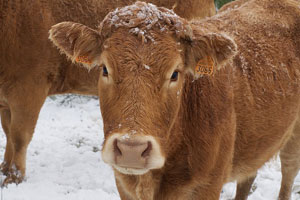 Cattlemen take extra precautions when weather is frigid