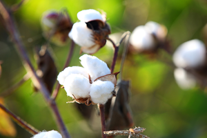 Virginia cotton growers optimistic about yields