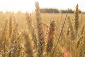 Crop report stirs up grain market speculation