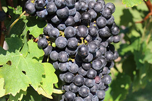 Farm Bureau plays a part in filling your wine glass