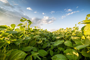 Va. soybean growers hopeful despite sinking sales