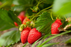 Strawberry season could be stupendous if weather stays mild