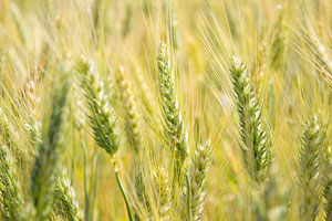 Wheat tour reveals improved quality and yield potential