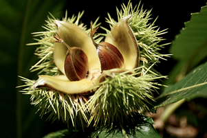 Chestnut trees make a comeback in Virginia