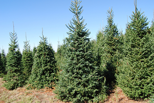 Deck the halls with a Virginia-grown Christmas tree