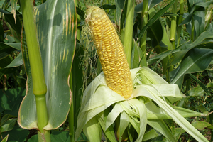 Growing conditions mixed for sweet corn crop