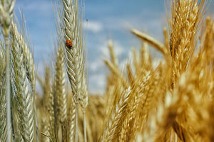 Virginia wheat growers have new marketing option
