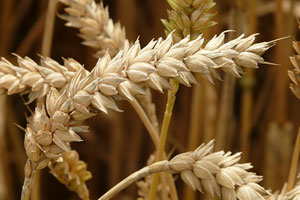 Wheat buyers, others will check out this year's crop during tour