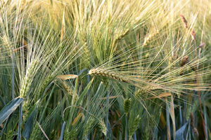 Winter wheat growers optimistic heading into harvest