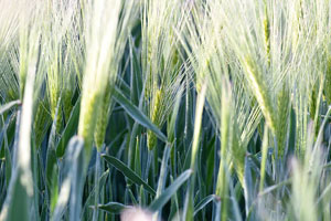 Virginia winter wheat production forecast to be up 23 percent
