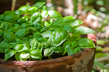 Cooking with tomatoes? Bust out the basil!
