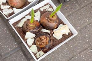 Giving bulbs as holiday gifts is long-standing tradition