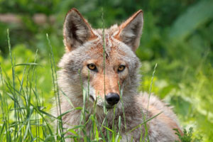Farmers fear program loss will be coyotes', vultures' gain
