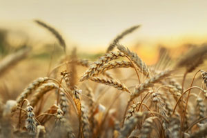 Despite setbacks, small grains play important role on state's farms