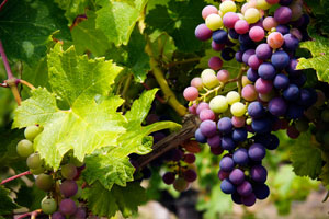 Grant funding available for Southside vineyard development; additional grapes needed